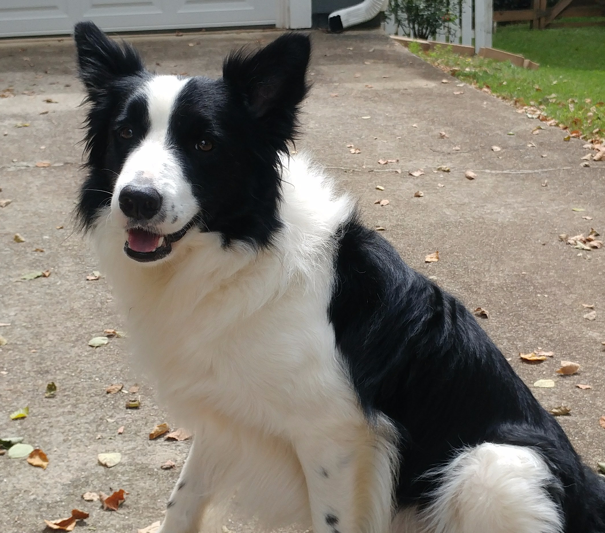 Caster Hall Border Collie